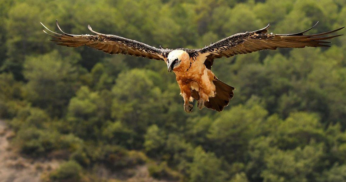 Hallan en Murcia el primer nido de quebrantahuesos descrito por la ciencia