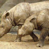 Malasia pretende clonar un rinoceronte de Sumatra extinto
