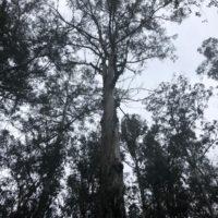 Un patrimonio natural centenario: la otra cara del eucalipto gallego
