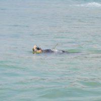 La tortuga Sparrow llega a Italia en menos de dos meses