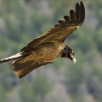 Echa a volar el primer quebrantahuesos nacido en Picos de Europa