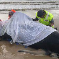 Tasmania sufre su peor episodio de varamiento de ballenas