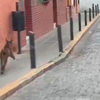 Capturado un lince ibérico en el portal de una casa de Huelva