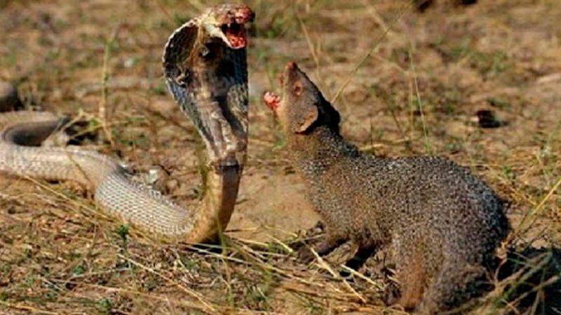 Cobra salvada por una manada de jabalíes y cuervos