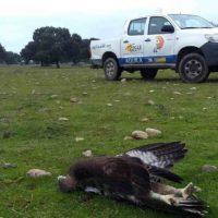 Unas 300.000 aves mueren electrocutadas cada año en España