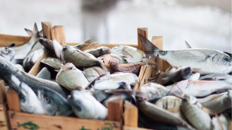 Diseñan baterías sostenibles a partir de colágeno de pescado