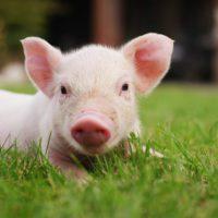 El sector porcino español reduce un 28% su huella hídrica