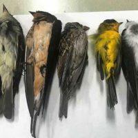 """Miles de pájaros caen del cielo: la """"tragedia ornitológica"""" de EEUU"""