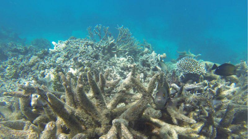 La Gran Barrera de Coral pierde más del 50% de los corales en 20 años