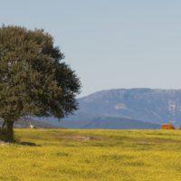 La aridez amenaza la supervivencia de las encinas en España