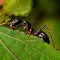 Hormigas inteligentes utilizan herramientas para acceder al agua