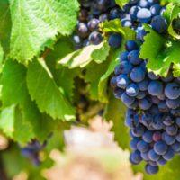 El cambio climático obliga al sector del vino a adaptar los cultivos