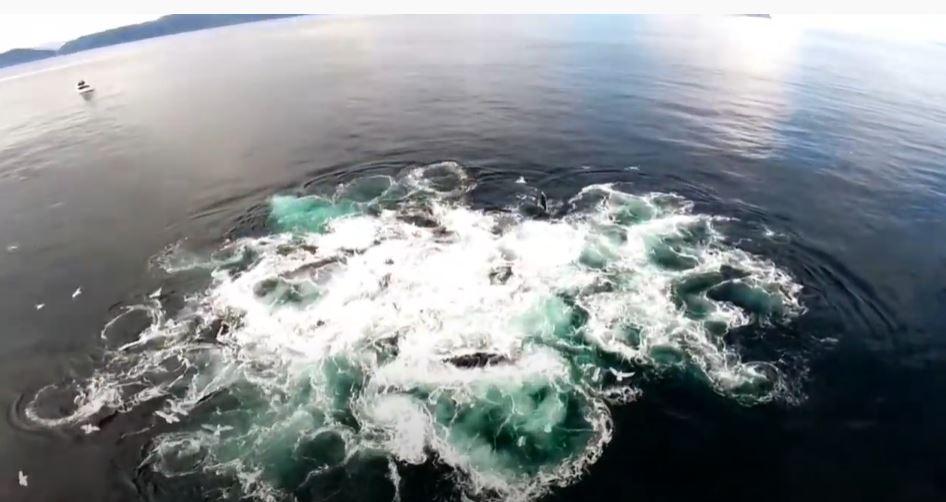 ¿Cómo cazan las ballenas jorobadas?