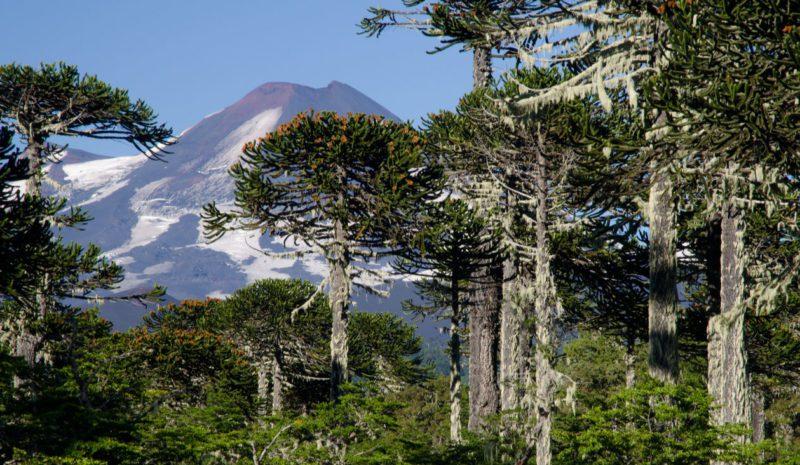 La sequía pone en peligro el bosque nativo chileno