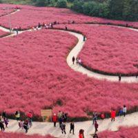 Campos rosados en China perfectos para una sesión de fotos