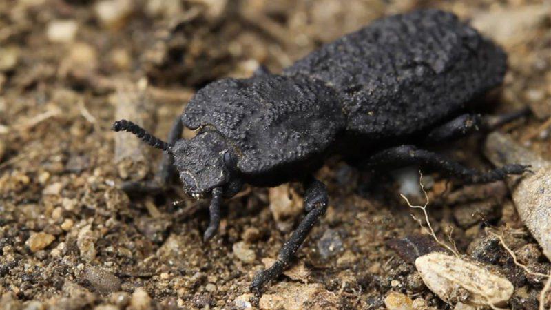 Estudian los secretos de un escarabajo indestructible