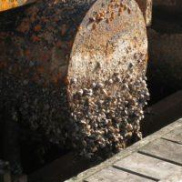 ¿Podrían los mejillones arruinar el futuro de la eólica marina?