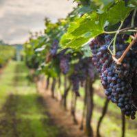Una app ayudará a gestionar las viñas frente cambio climático