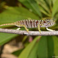 Redescubren en Madagascar un raro camaleón que se daba por extinguido