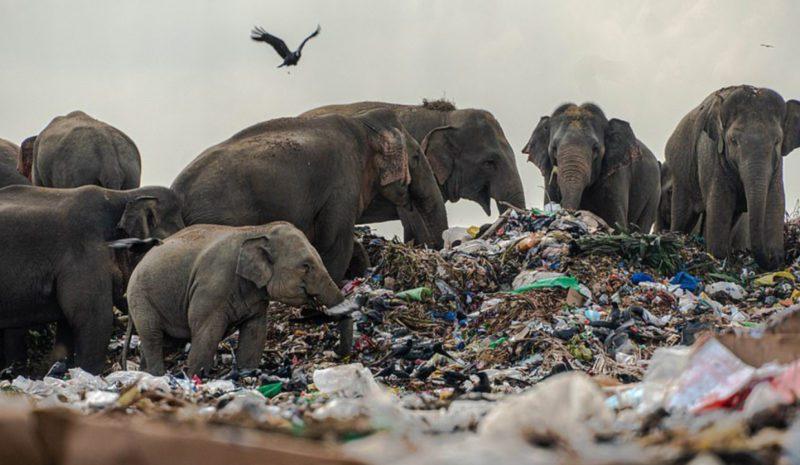 Decenas de elefantes comen a diario en un vertedero de Sri Lanka