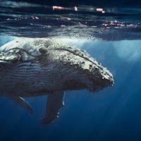 Hallan una nueva población de ballenas azules por la grabación de sus cantos