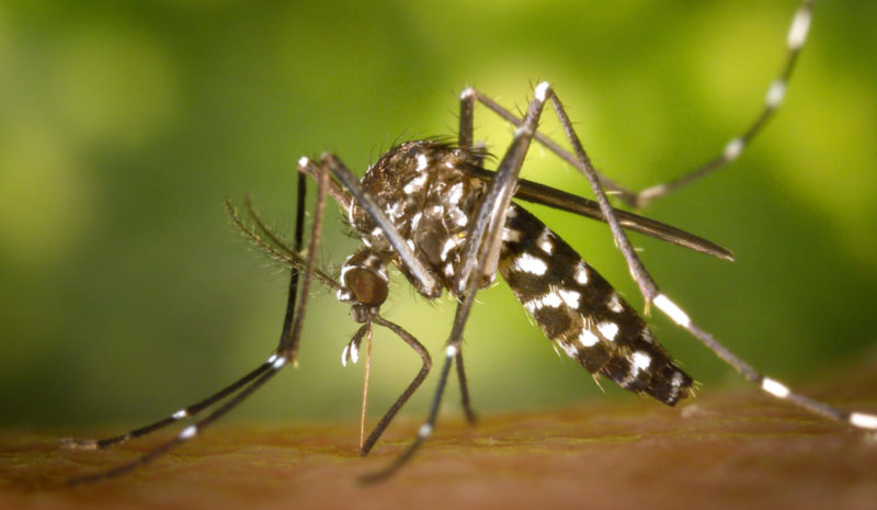 España registra en 2020 su récord de mosquitos tigre