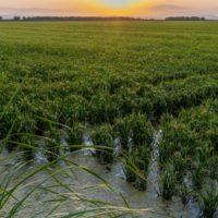 Detectan un déficit de oxígeno en las aguas de arrozales de La Albufera