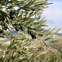 Andalucía premia el proyecto Reutivar de agua regenerada en el olivar