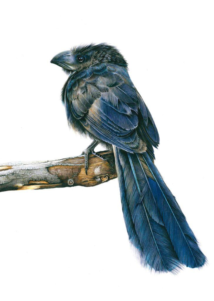 El matacaballos ('Crotophaga sulcirostris') de Camilo E. Maldonado (Chile), obra ganadora del Premio del público en la séptima edición de Illustraciencia.