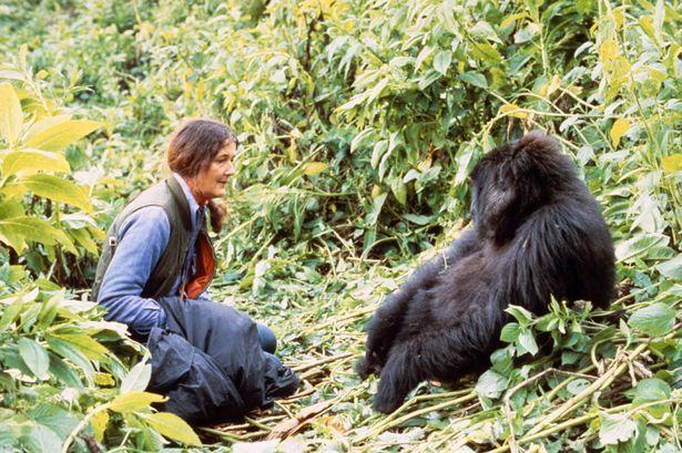 Dian Fossey durante su trabajo en las montañas Virunga.   FOTO: Dian Fossey Gorilla Fund