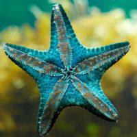 """Desvelan la enfermedad que está """"ahogando"""" a las estrellas de mar"""