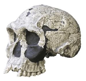 Réplica del cráneo KNM-ER 1813 en el Museo Senckenberg de Historia Natural Alemania