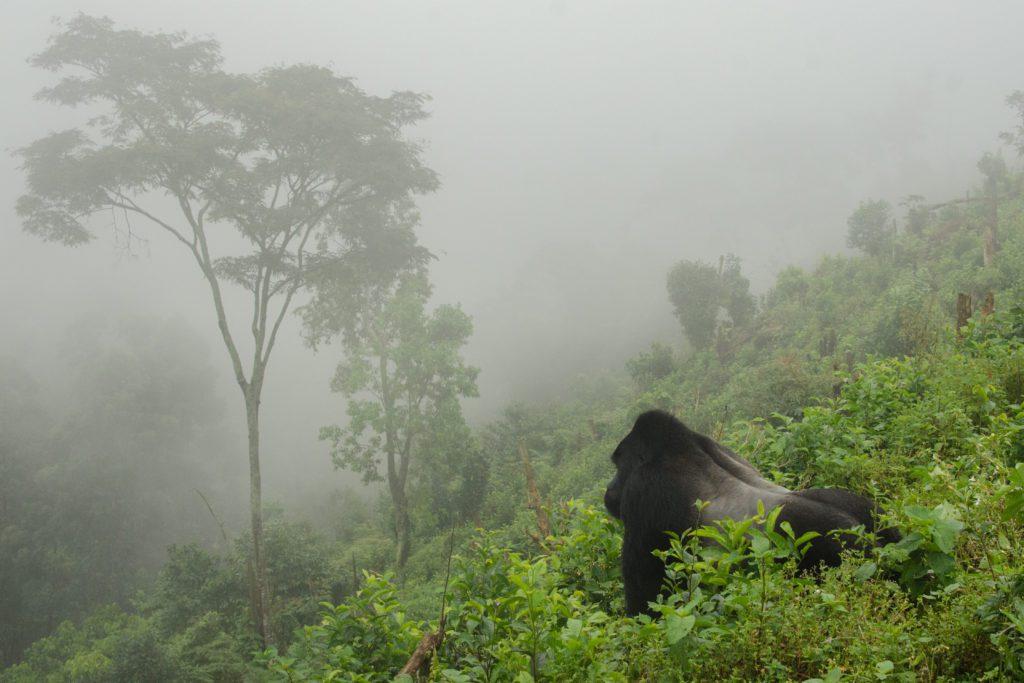 Un gorila de montaña entre la niebla y que cubre habitualmente las selvas frescas de las montañas Virunga.   FOTO: Brina L. Bunt