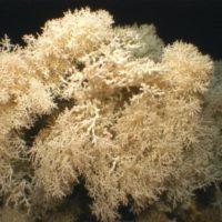 El Mediterráneo acoge corales que surgieron hace 400.000 años