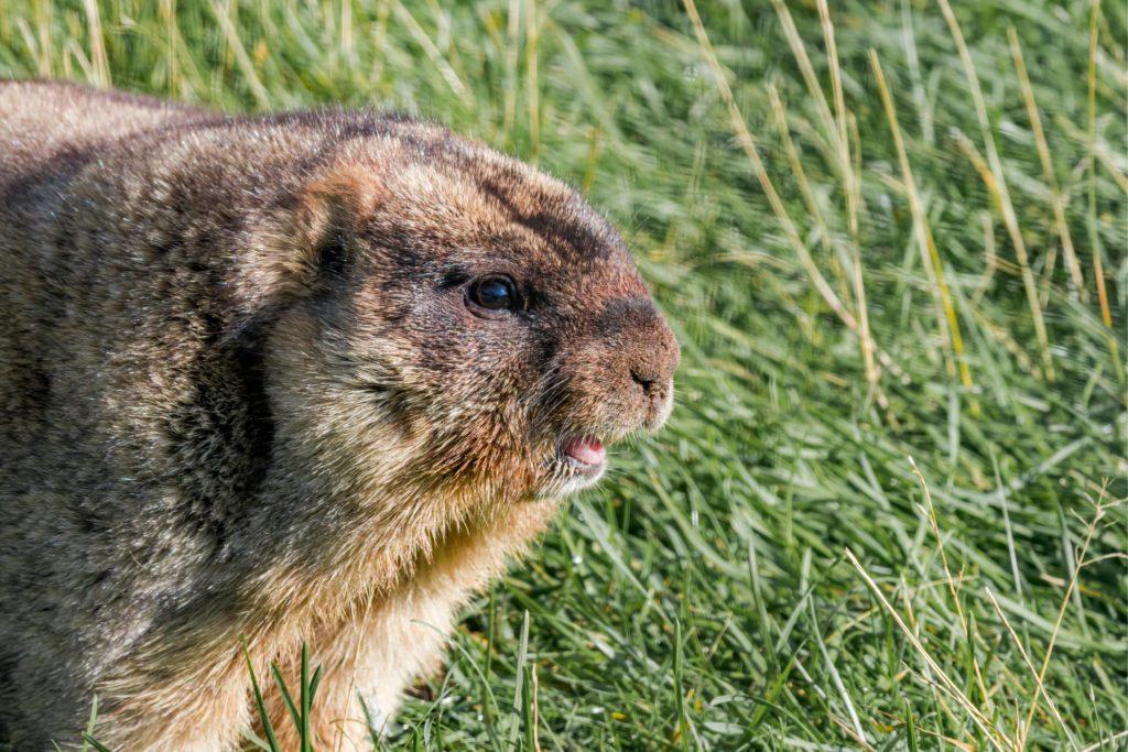 Ejemplar de marmota bobak, mamífero de la estepa asiática.   FOTO: Nick Pecker