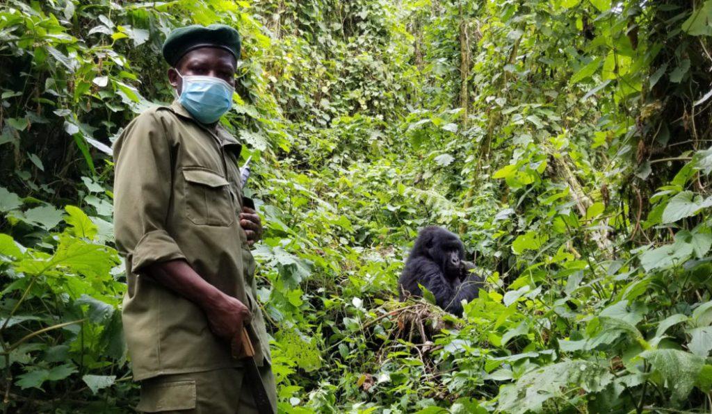 Un guardaparques armado custodia gorilas en el Virunga National Park de Ruanda durante la pandemia.   FOTO: Lesia Povkh