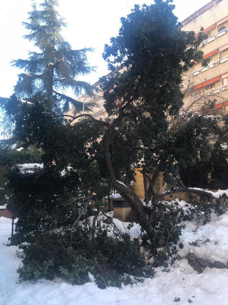 Un buen ejemplar de madroño con sus gruesas ramas partidas tras la gran nevada de enero de 2021 en un jardín de Madrid.   FOTO: Pedro Cáceres