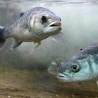 Las olas de calor marinas alteran la expresión génica de los peces