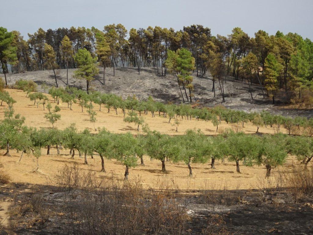 Olivar explotado interrumpiendo la continuidad de un incendio en la Sierra de Gata (Cáceres).