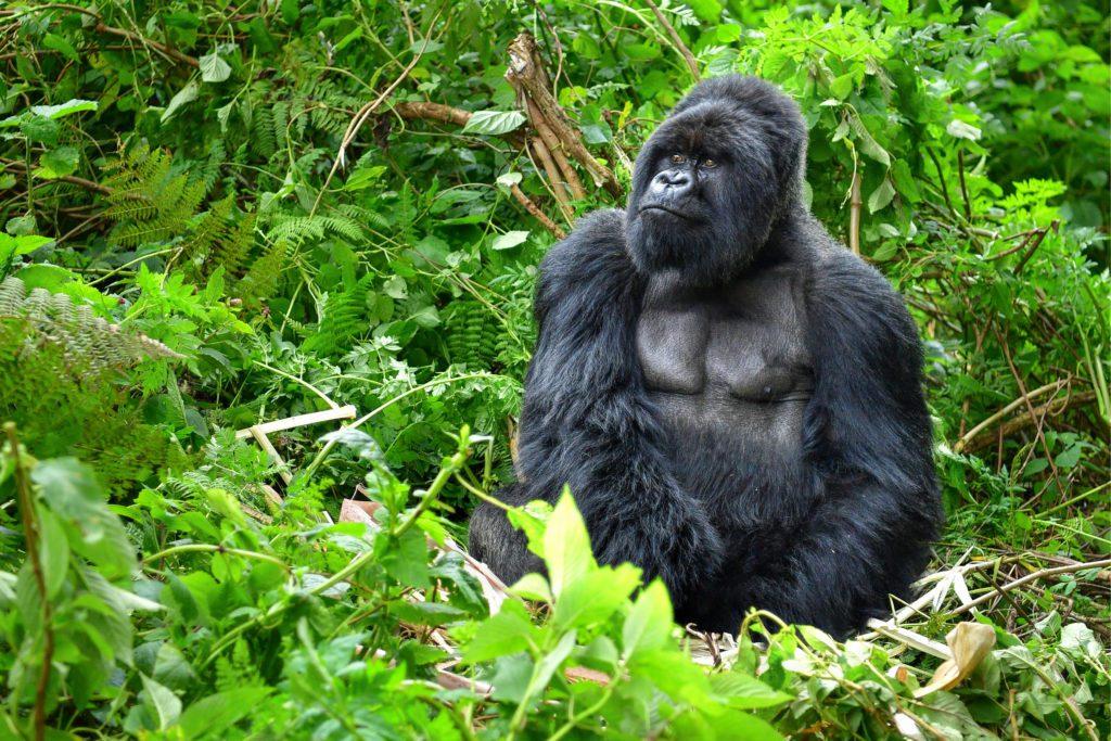 Un macho adulto de gorila de montaña, o espalda plateada, fotografiado en la frondosidad de los volcanes Virunga, en Ruanda.   FOTO: Onyx9
