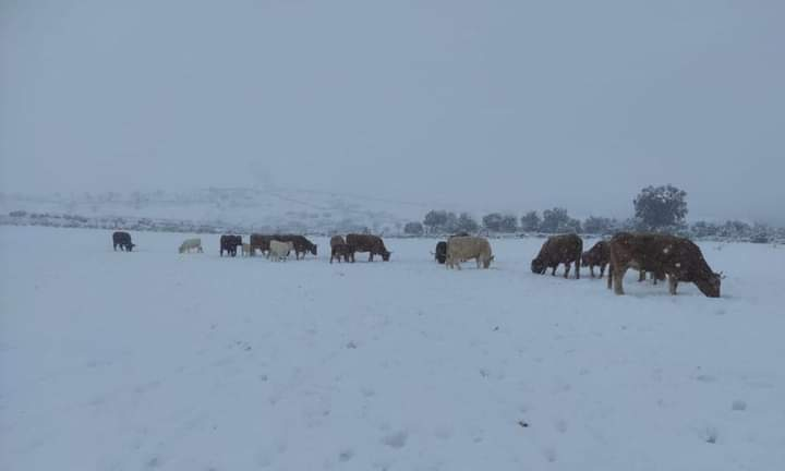 El hielo tras el paso de Filomena deja sin agua y alimento al ganado extensivo