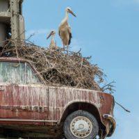 ¿Sabías que las cigüeñas ya no migran?