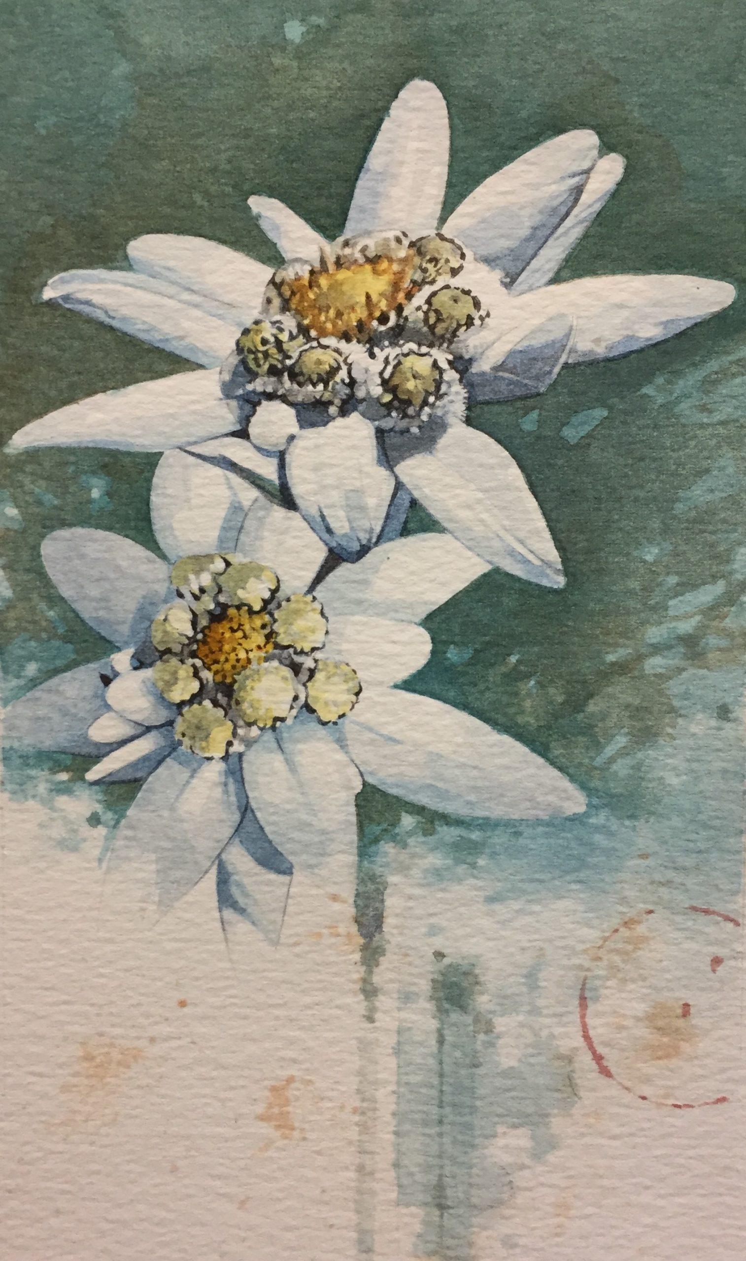Estrella de Plata o flor de Edelweiss, acuarela obra del artista Fernando Fueyo
