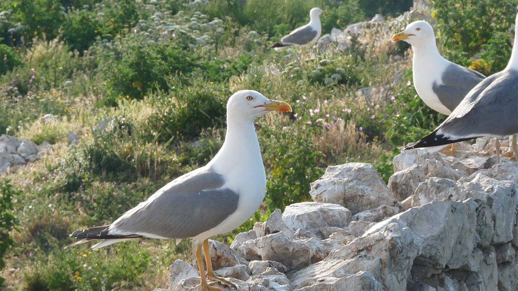 Ejemplares adultos de gaviotas en las islas Medas   Foto: Marta Cerdà