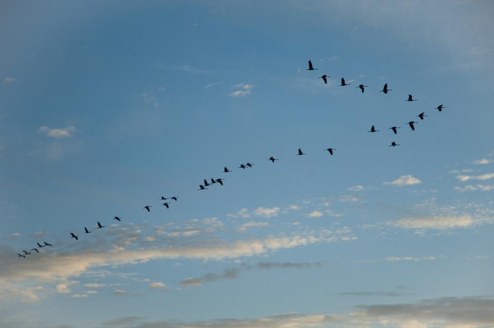 Un bando de grullas comunes, con su habitual formación en V, volando sobre la laguna aragonesa de Gallocanta.   FOTO: Víctor Suárez Naranjo