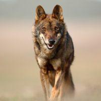 En marcha la orden ministerial para prohibir la caza del lobo ibérico