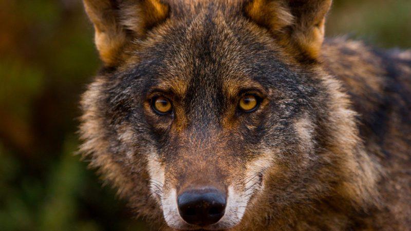 El Gobierno prohíbe la caza del lobo en toda España