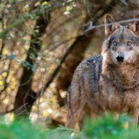 El Gobierno anuncia 20 millones para la convivencia entre ganadería y lobo