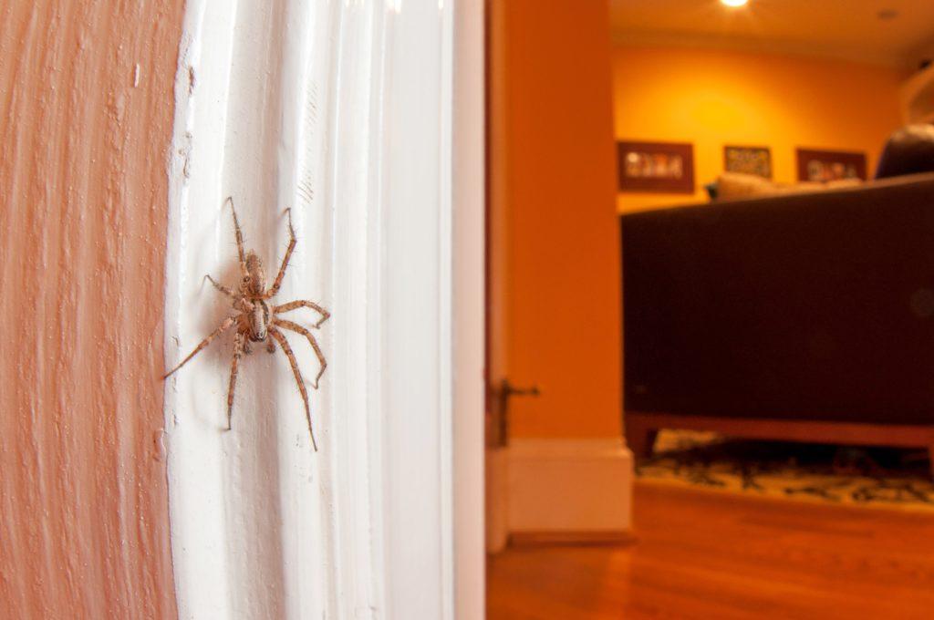 Una araña doméstica. | FOTO: North Carolina State University