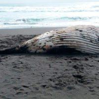 Varamientos de cetáceos en Chile, un drama que no cesa